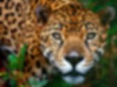 jaguar in the belize jungle