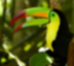toucan in the belize jungle