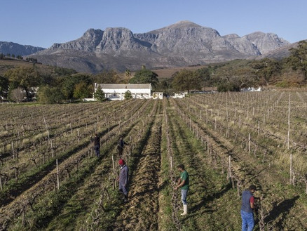 Virus booze ban causes headache for South African winemakers