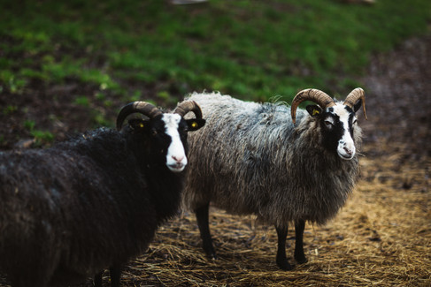 Two sheep at the open-air museum, one of the many surprises waiting during your small wedding abroad in Denmark