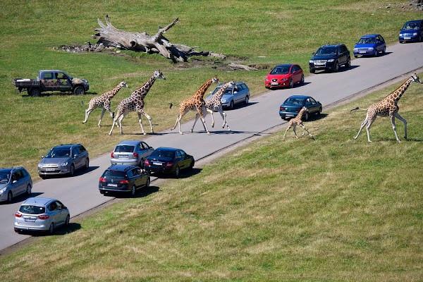 Cars on the roud in Maribo safari park