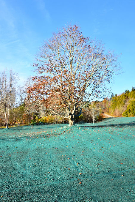 Autumn Tree in a Hydroseeded Field.jpg