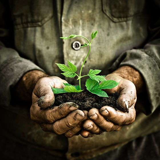 Old man hands holding a green young plan