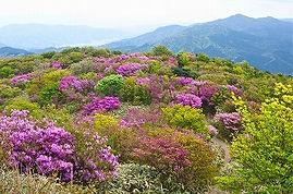 井原山のミツバツヅジ