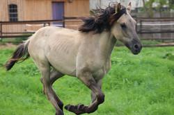 Kiger Mustang Hengst