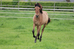 MH Kiger Mustang
