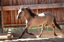Kiger Mustang vom Mönchehof