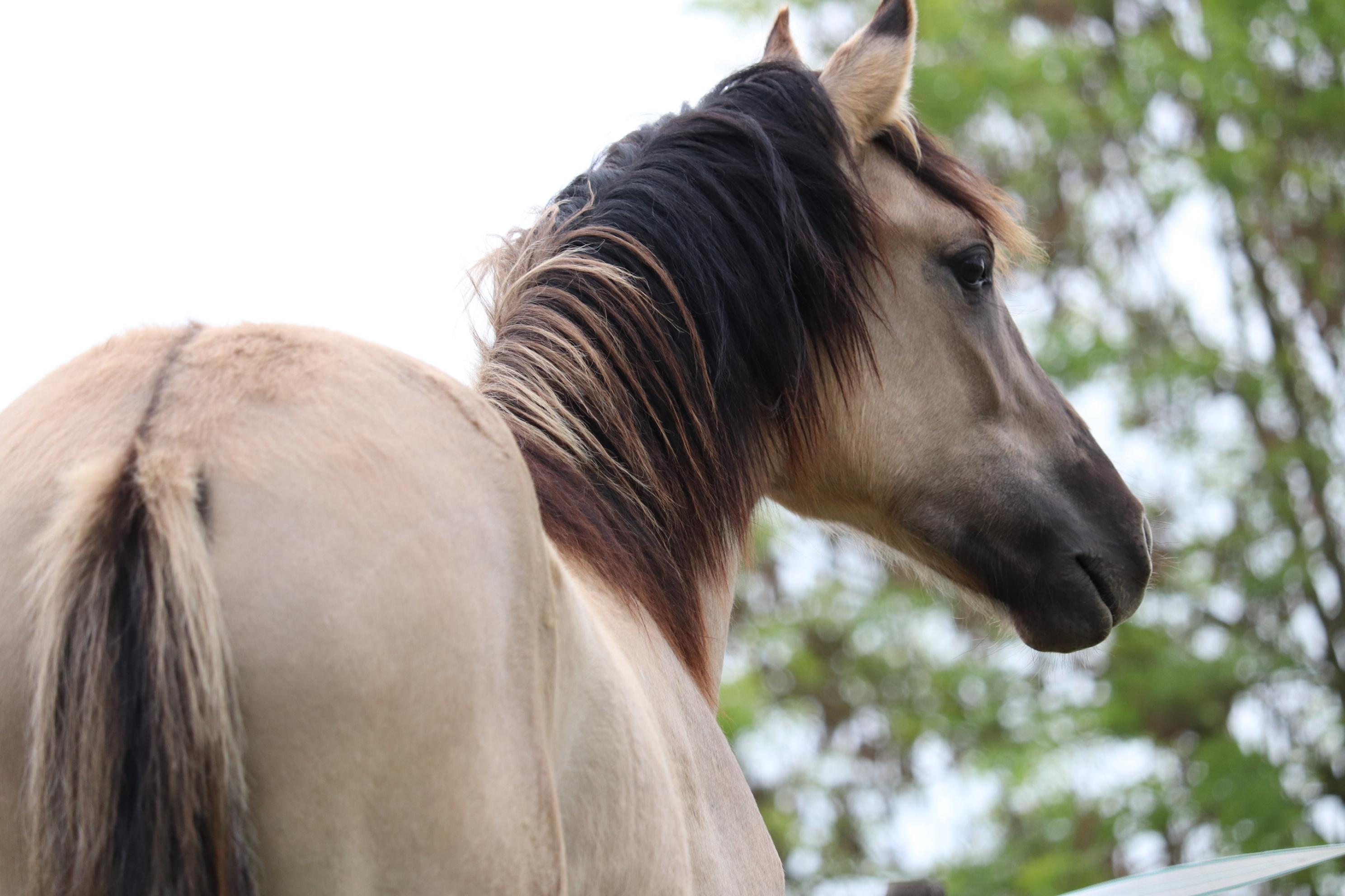 Kiger Mustang Acero