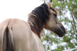 Acero Kiger Mustang
