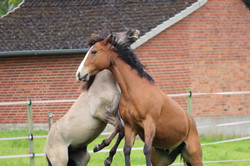 Kiger trifft Paint Horse