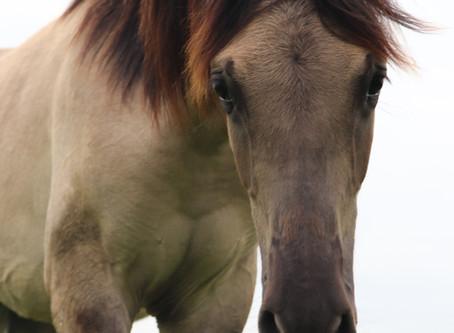 """Was bedeutet eigentlich """"Mustang""""?"""
