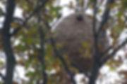 nid-de-frelons-asiatiques-_reduit.jpg