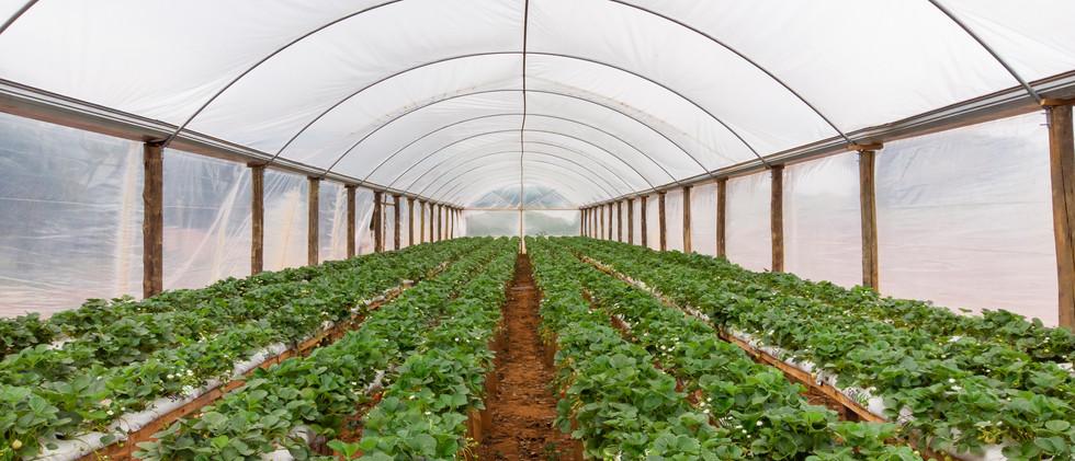 Produção de morango da familia Riba