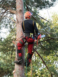 tree surgeon kent tree surgery ashford logs removal felling climbing climber stihl husqvana chainsaw limbing