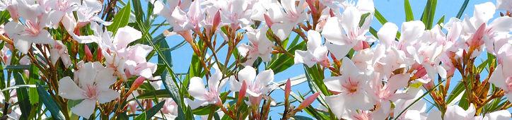 Oleander Tree, Joy of the Mediterranean