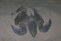 Schildkröte im Nest