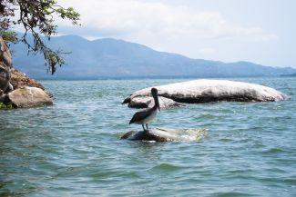 pelicano en la isla