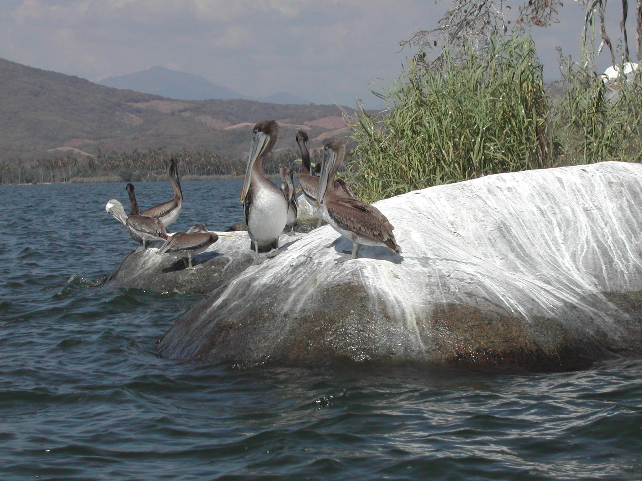 Pelikane sammeln sich