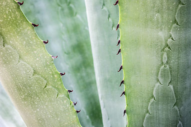 close-up-photography-of-aloe-vera-plant-