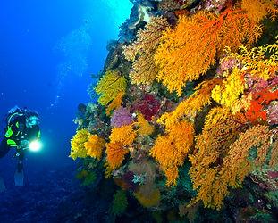 SOF - Soft Coral3.jpg