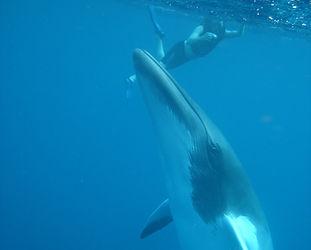 SOF - Minke Whale1 square.jpg