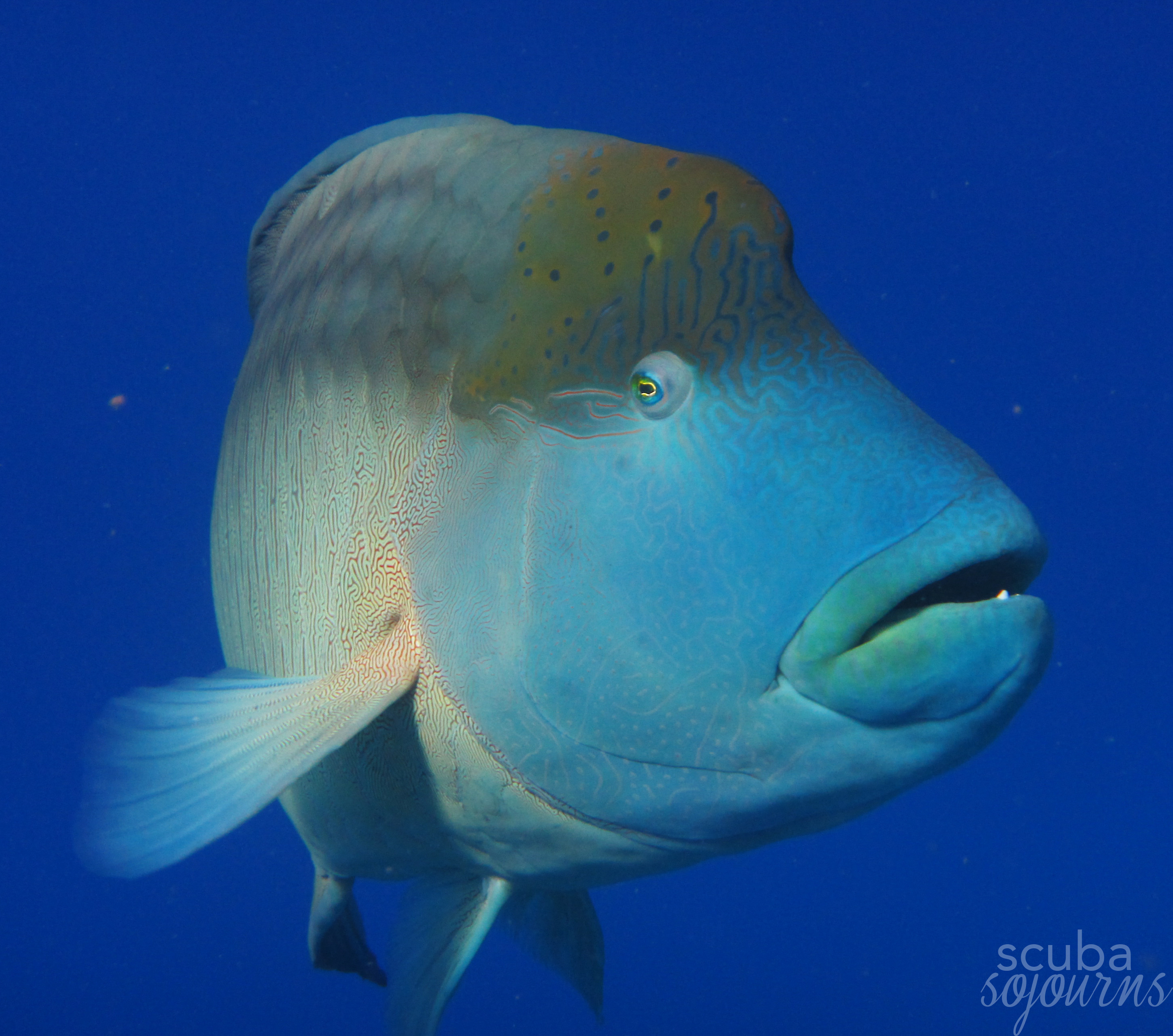 571722-SS_gallery_wrasse