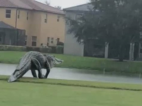 Newest Player on the Golf Team - the Alligator!