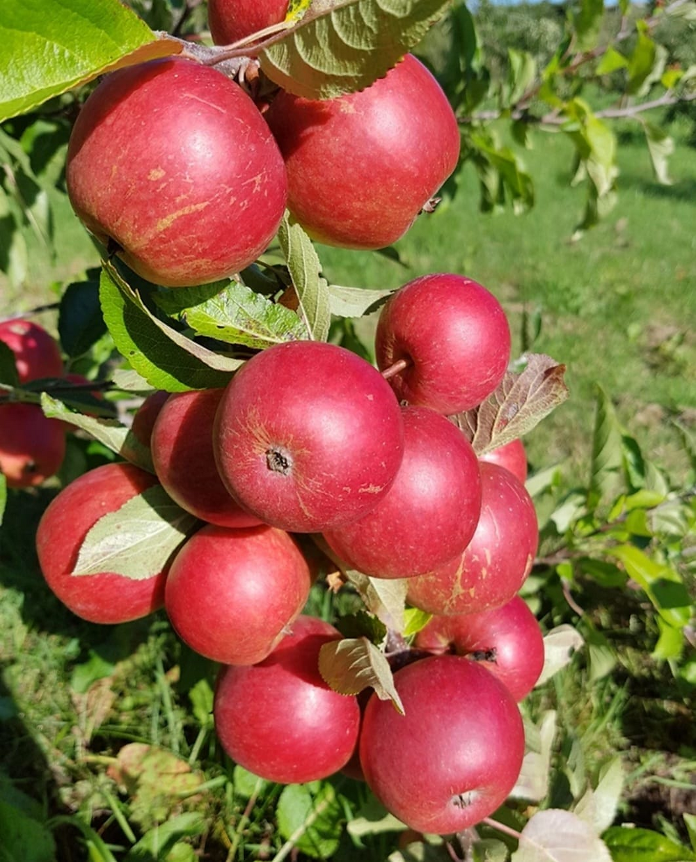 Ripe apples in an orchard