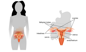 The female reproductive system. The female reproductive system is centered on the uterus, where a fertilized egg implants and develops into a fetus. Eggs develop in the ovaries and, once every month, one is released into the fallopian tubes for travel to the uterus. At the base of the uterus is the cervix, which leads out of the uterus, releasing any unfertilized eggs and menstrual fluid.