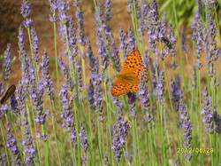 Facebook - Butterflies on the lavender The Alchemy Garden is a nature sanctuary