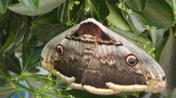 Facebook - The giant moth rescued from Cazals where it needed to be free of the