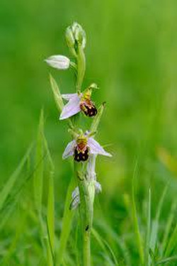 Facebook - The Bee orchids are back!!!  These plants are remarkable in that they