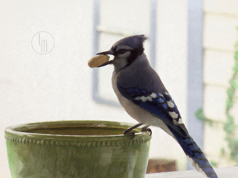 Once again Buzz the blue jay is busy grabbing peanuts from the trusty peanut bowl. I like to think he looks onto me with the same affection I feel for him but I know his true motive in hanging out with me is the privilege of an endless supply of peanuts in his favorite green bowl.
