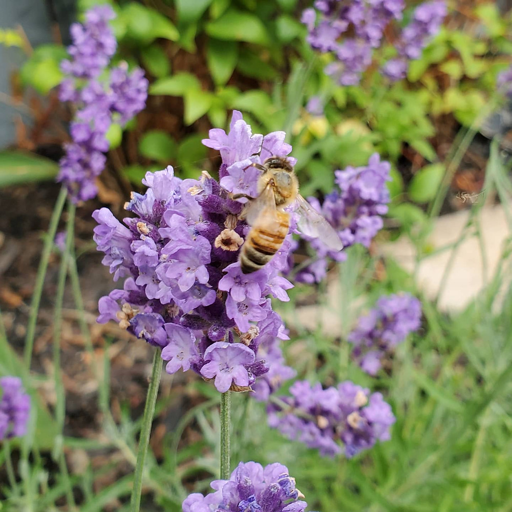 This busy little bee was so involved in himself he didn't even notice I was there, prying into his business.