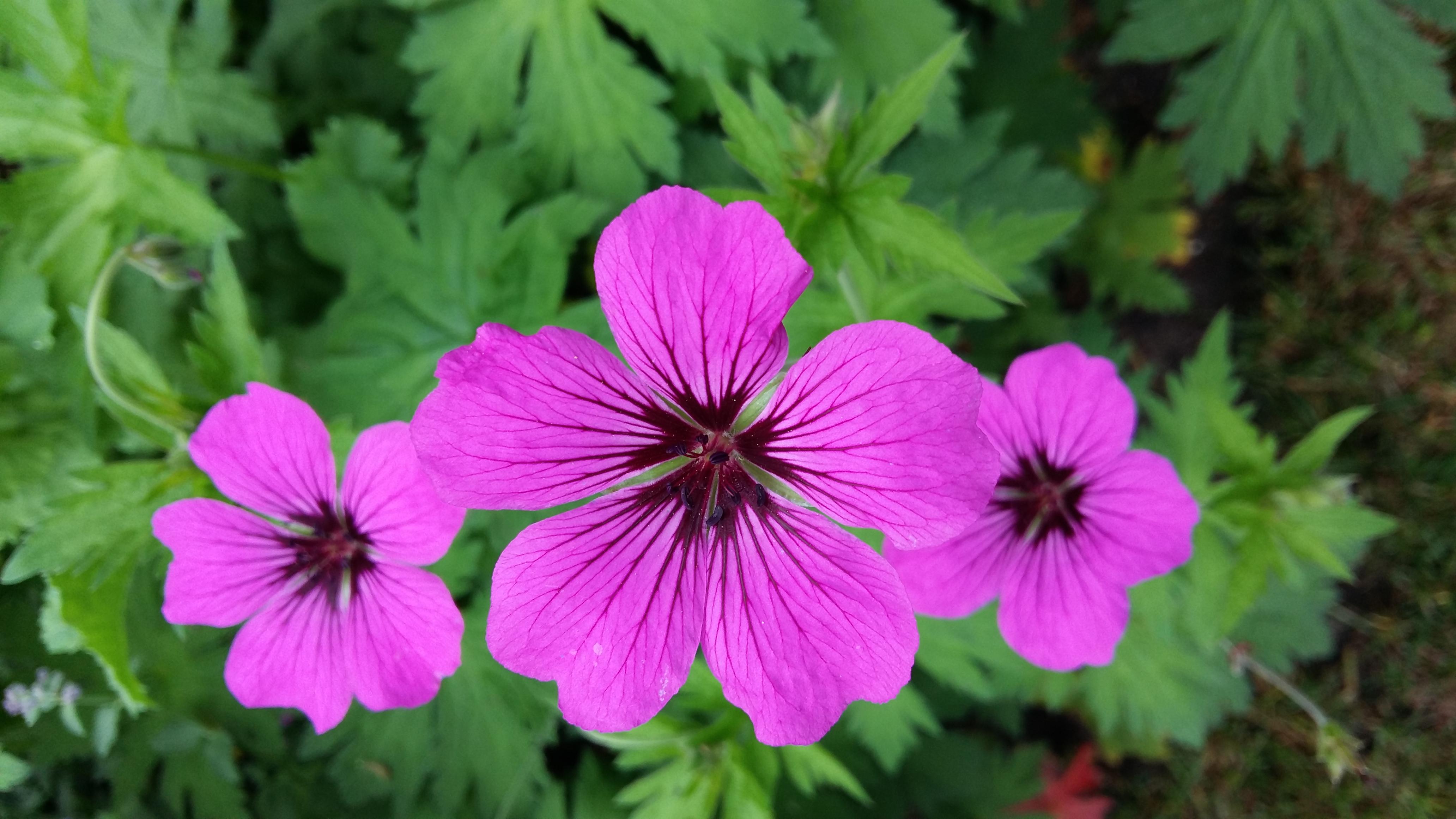 Geranium Patricia/Ooievaarsbek
