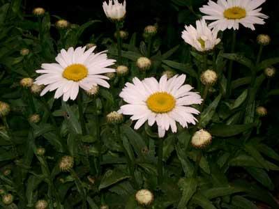 Leucanthemum/Margriet