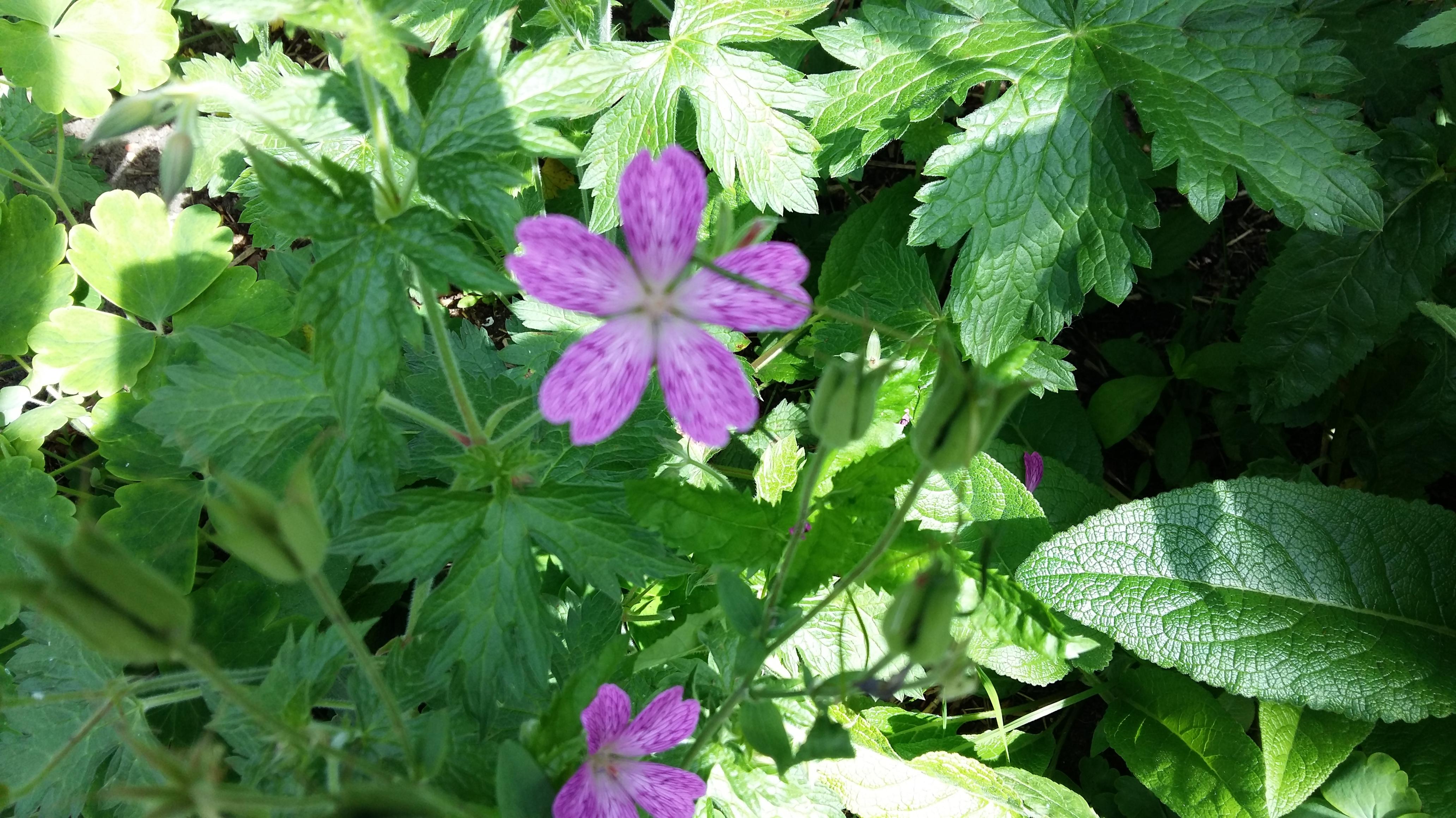 Geranium paars geaderd/Ooievaarsbek