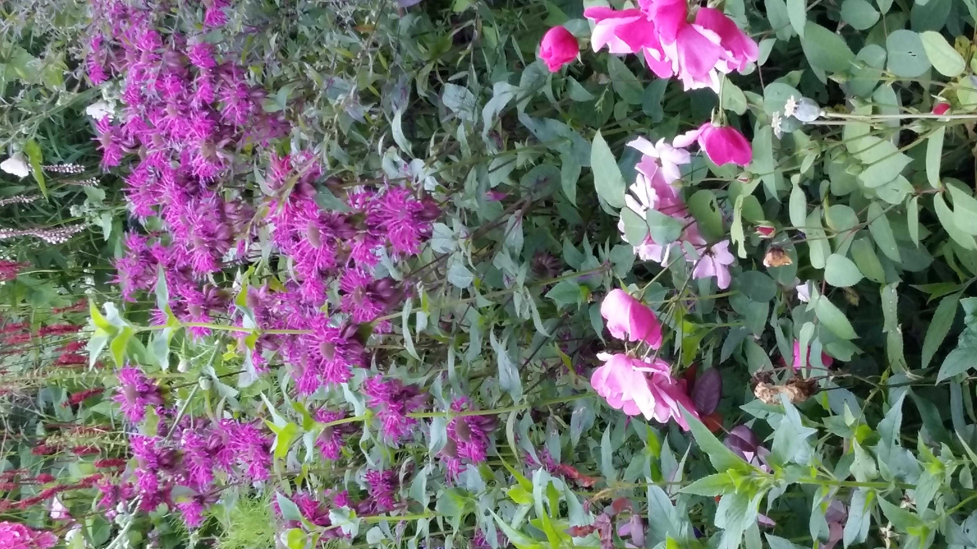 Monarda Gewitterwolke/Bergamotplant