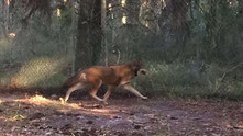 1804 - Newest male red wolf to join St. Vincent, NWR recovery program