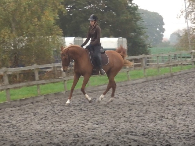 arab horse cantering schooling dressage