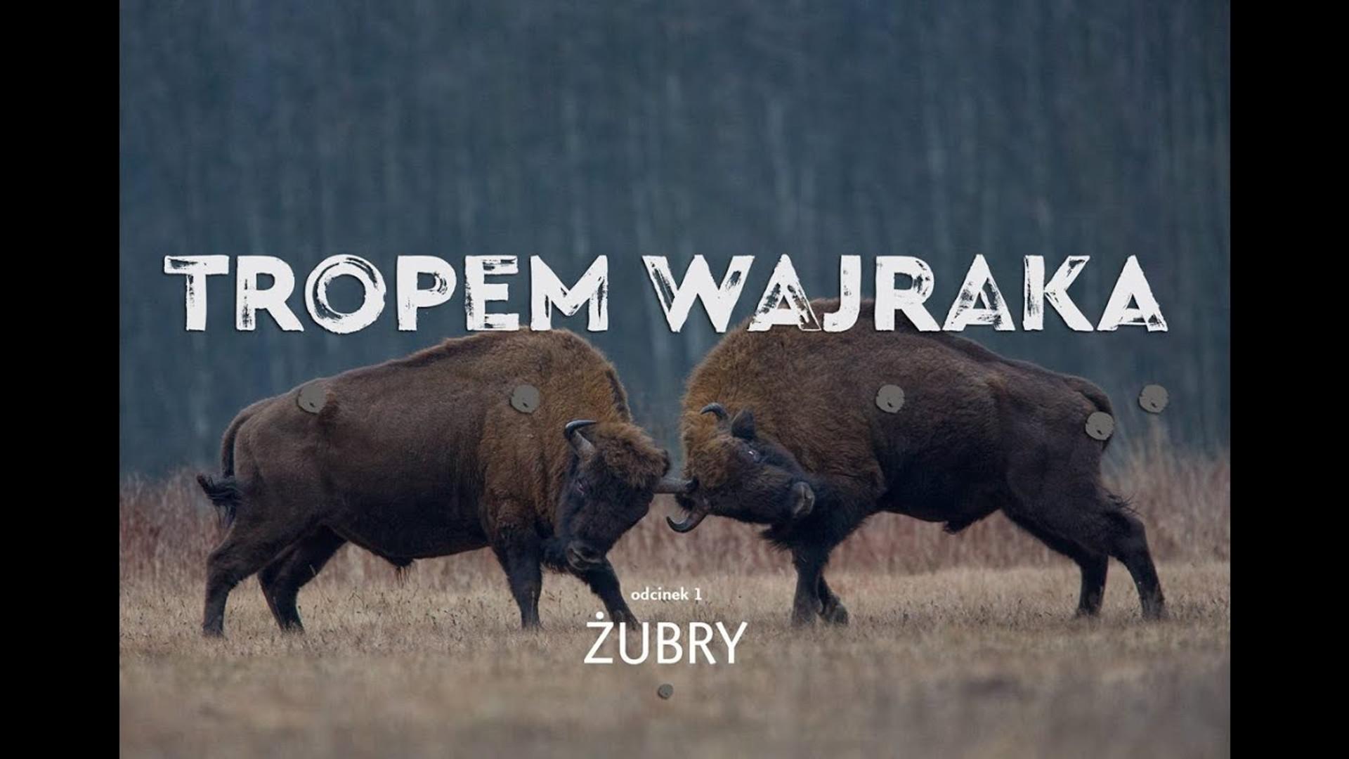 Tropem Wajraka - Żubry