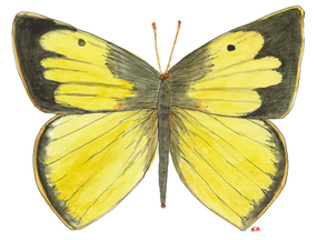 Dog-Face Butterfly, Zerene Cesonia