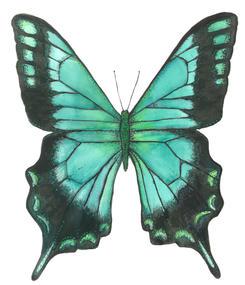 Maya's Parisian Blue Butterfly, Papilio Lorquinianus