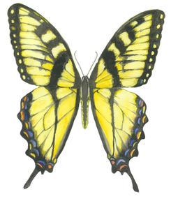 Tiger Swallowtail, Papilio Glaucus