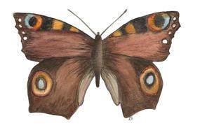 Peacock Moth Inachisio