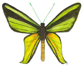 Ornithoptera Meridionaus