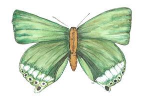 Deudorix Eryx