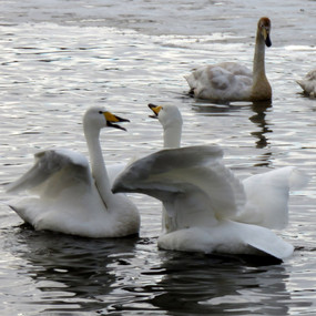 Swimming Swans, Iceland