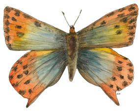 Golden Copper, Poecilmitis Thybe
