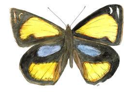 Yellow Pansy, Junonia Hierta